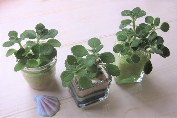 アロマティカスを使ったカラーサンドのグリーンインテリアの作り方 剪定したアロマティカスの茎の下葉を取って、茎の部分を水に浸けておきます。 小さなガラスベースに数色のカラーサンドを重ねてストライプ柄をつくり、ガラスベースの縁から1㎝ほど下まで入れます。ガラスベースに入れたカラーサンドに水をかけてカラーサンド全体に水をしっかり吸収させます。 カラーサンドに割りばしで挿し芽用の穴を2~3個あけて、アロマティカスの茎を挿します。根が出てくるまでは、カラーサンド全体が湿った状態になるように水やりをします。 2週間ほどで根が張ってきたら、カラーサンドの底から1/3くらいに水が入っている状態であれば大丈夫です。