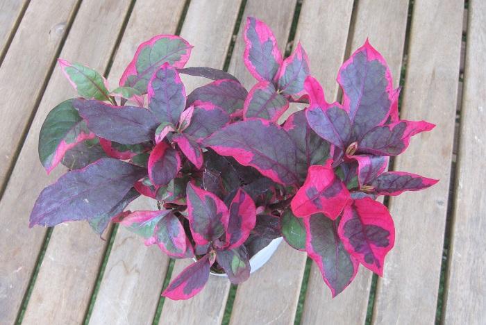 アカバセンニチコウ コタキナバル  ヒユ科 非耐寒性多年草 観賞期 周年 開花期 10~2月(冬は温度が必要です。)  存在感たっぷりな赤葉を持ちます。特徴的な赤は、寄せ植えや花壇のアクセントとして存在をアピールします。白い球状の花を咲かせます。風通しの良い日なたと水はけの良い用土を好みます。高温、強光に丈夫な性質です。寒さに弱いので、寒い時期は室内に取り込めば周年葉色を楽しめ、2月まで開花します。