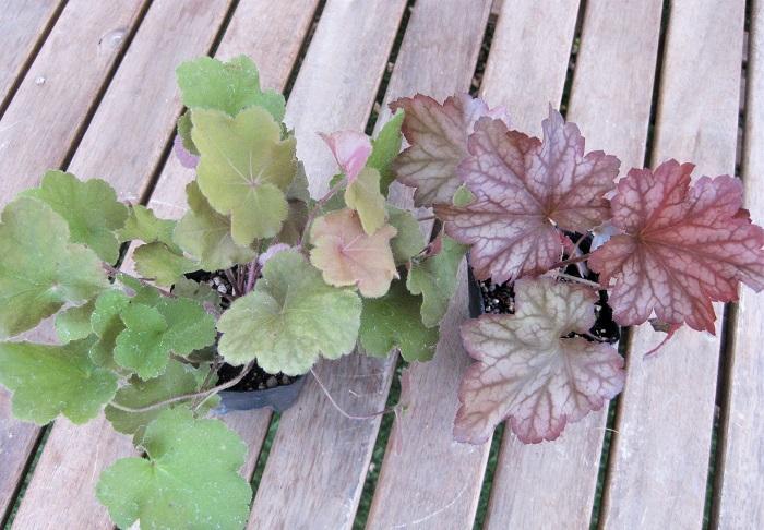 ヒューケラ キャラメル&パプリカ ユキノシタ科 耐寒性多年草 観賞期 周年 開花期 5~6月  写真左側が「キャラメル」、右側が「パプリカ」です。  緑、黄、赤紫、茶など葉色が豊富で葉の模様も変化に富みます。丸い葉の直径は3~10cmくらいです。日なた~半日陰と水はけの良い用土を好みます。耐寒性と耐陰性が強いですが、西日は苦手です。株分けで繁殖します。