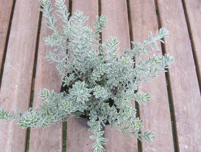 ウェストリンギア スモーキーホワイト シソ科 半耐寒性常緑低木 観賞期 周年 開花期 4~10月   シルバーの美しい葉を持ちます。別名はオーストラリアンローズマリーです。細長い葉や花の形が、同じシソ科のローズマリーに似ていますが、香りはありません。淡い紫色の小花を咲かせます。風通しの良い日なたと水はけの良い用土を好みます。どちらかというと、乾燥を好みます。