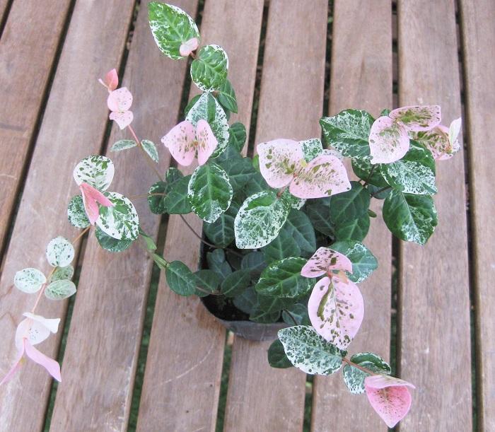 ハツユキカズラ キョウチクトウ科 耐寒性木本 観賞期 周年  新葉にピンクと白の斑が入る美しい植物です。徐々にグリーンの部分が多くなっていきます。春~夏に刈り込んで新芽を増やすとピンクと白の葉を楽しめます。秋から冬に紅葉する姿も美しいです。風通しの良い日なた~半日陰と水はけの良い用土を好みます。