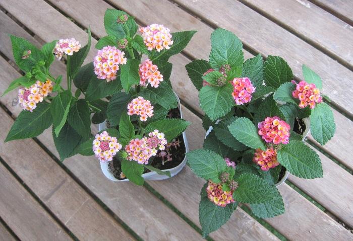 ランタナ 秋色ランタナ クマツヅラ科 半耐寒性常緑低木 開花期 5~11月  秋の紅葉のような、手毬状のかわいい小花を次々と咲かせます。花の彩りが変化する様子は、まさに紅葉のようです。暑さに強く、風通しの良い日なたと水はけの良い用土を好みます。