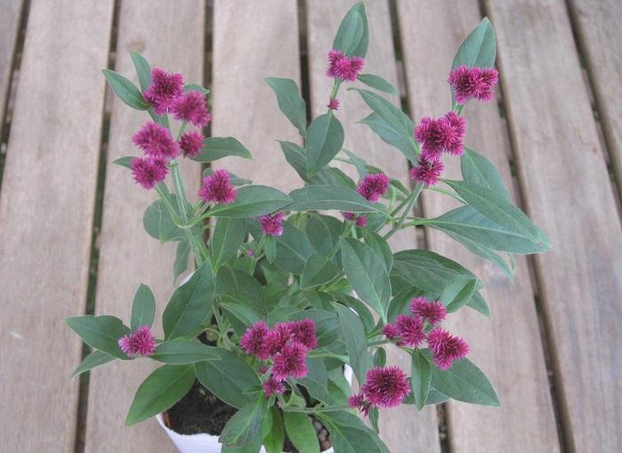 センニチコボウ 千紅花火 ヒユ科 半耐寒性多年草 開花期 10~2月(冬は温度が必要です。)  センニチコウの花を小さくしたような、小さなかわいい花がたくさん咲きます。花穂の大きさは、5~10㎜くらいです。花持ちが良く、寄せ植えではメインの花を引き立て、メインの花に引き立てられる花として大活躍します。風通しの良い日なたと水はけの良い用土を好みます。