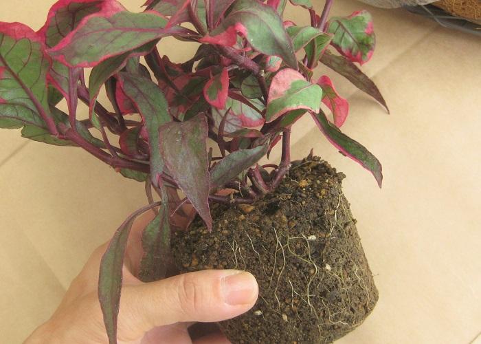 ポイントとなる苗をポットから出して根をくずしていきます。