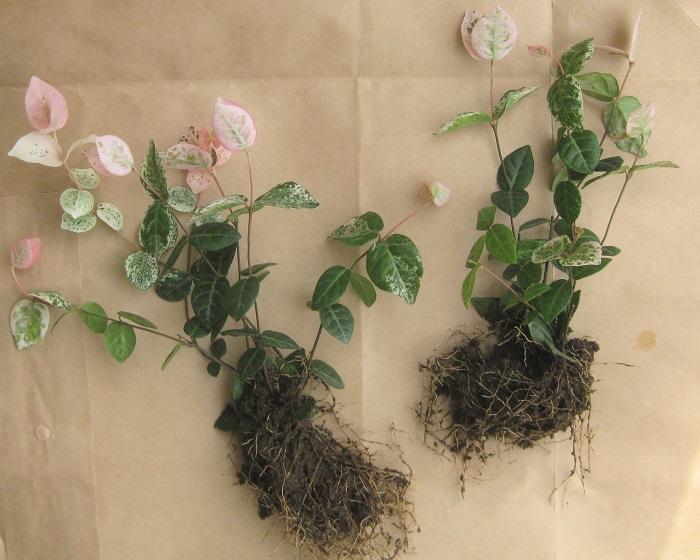 ハツユキカズラのように株分けできるものは、株分けして使います。  株元がすっきりしていて、少し隙間があきそうな苗の株元に添えて植えるとバランスが良くなります。  株分けした苗の根が乾燥している場合は、水分を補給してあげましょう。