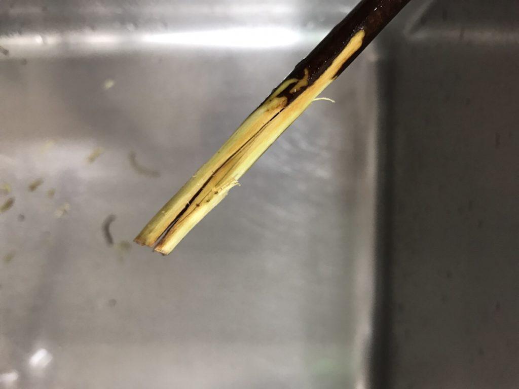 ドウダンツツジの水揚げ ドウダンツツジの水揚げをよくするポイントとして、枝物の足もとをカッターやナイフ、ハサミなどで削ります。そのあと十字に割りを入れます。枝の太さによって、割りを入れたり、折って水揚げをよくしたりします。太い枝は、ふつうのハサミでは切りにくいので花ばさみや枝切りばさみなどを使用しましょう。