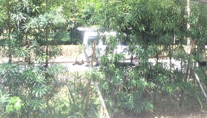 イヌマキは細い葉が特徴的な常緑樹です。和のイメージが強いですが、ラカンマキなどと比較すると葉も細長く、モダンな雰囲気にもあう樹種です。夏には実がなり、食べることもできます。