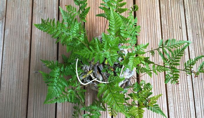 トキワシノブは中国原産の着生植物です。日本でも盆栽や苔玉などにして楽しまれています。  シダ植物のため耐陰性が高く、洗面所に置くことができます。  葉水を行うようにし、土の表面が乾燥してきたらたっぷりと水やりをしてください。