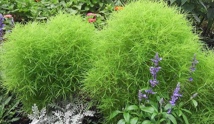 コキアを育てる時に大切なポイントは5つです。  1. 春に種をまきます。苗から育てることもできます。  2. 屋外の日当たりと風通しの良い場所で育てます。  3. 苗は、根を崩さずに植え付けます。  4. 水は、土が乾いてきたらたっぷりあげます。  5. 大きく育ってきたら、土を寄せて支柱を立てます。  コキアは、丈夫で育てやすい一年草です。丘いっぱいにコキアを見渡せる有名な公園もありますよね。季節によって見え方が全く違います。  ぜひ、コキアを育てて春から晩秋までお楽しみください。