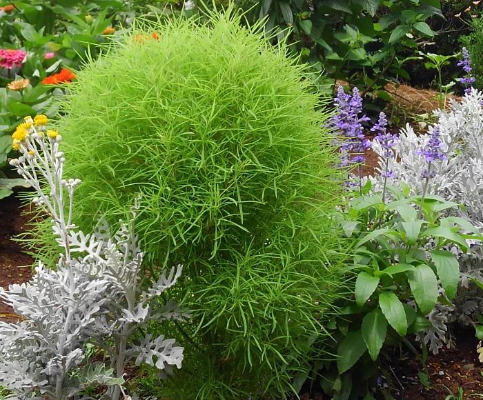 コキアは水はけの良い用土を好みます。コキアの根は直根性なので、根が傷むと根付くことなく枯れてしまいます。なるべく根を崩さないで植えるようにしましょう。  コキアは一株でもボリュームが出るので、複数植える場合は株間を50~60cm以上はとります。地植えすると大きくなり、プランターに植えると小さく育ちます。