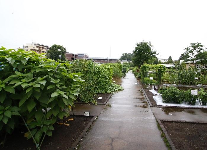 ▼屋外では漢方薬や民間薬の原料となる植物・製薬や染料香料のために用いられる植物がブロックに分けて栽培されています。薬の原料だけでなく、ワタのように人間の生活に役立つ植物もあります。私たちが普段いかに植物に頼って暮らしているのかわかりますね。