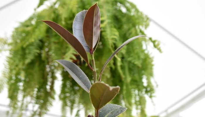 フィカス属の総称です。インドゴムノキやカシワバゴムノキなど、インテリアとして人気のゴムノキはフィカス属の観葉植物で、古くは樹液がゴムの原料として利用されていました。現在では観葉植物としての用途の方が主で、幅広い種類が親しまれています。耐寒性は10℃ほどでそこまで寒さに強いわけではないので、冬場玄関だと気温が下がりすぎてしまう場合は場所を移動したほうが良いでしょう。