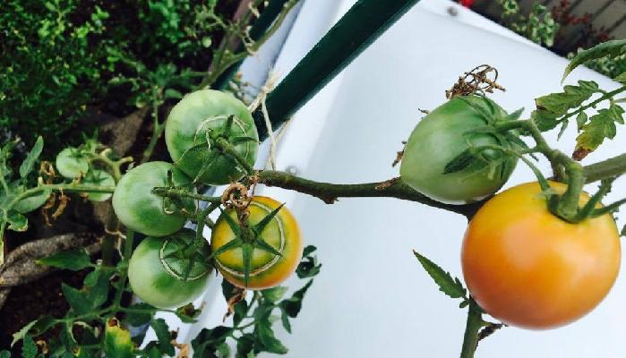 裂果(れっか)トマトは食べても大丈夫?  結論  大丈夫です!  裂果(れっか)してないトマトに比べて、裂果(れっか)トマトは食味がいくぶんか落ちますが、食べることができます。  裂果(れっか)している部分は皮が固いので、その部分を取り除いてお食べ下さい。  その際、裂果(れっか)の傷口の部分が腐ったりしていないか確認してください。