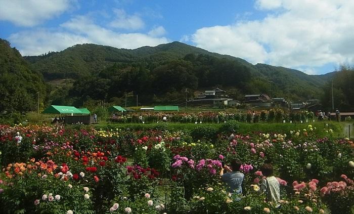 0.6ヘクタールの園内では、今年も新発表の品種を加えて460種約1,200株のダリアが地元の皆さんの手で大切に育てられています。見ごろは10月上旬から下旬で、朝晩の冷え込みで花色に深みが増します。