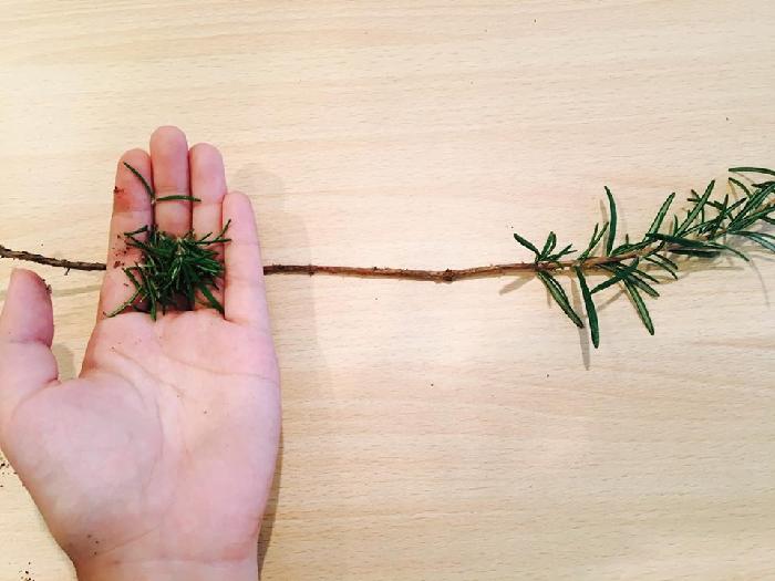 目安として、茎の下半分ほどの下葉を取り除きます。