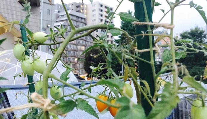 Uターン整枝栽培  摘芯せずに上に伸びた枝を、支柱のてっぺんまで到達したら、折り返して地面に向けて栽培します。  ちなみに、ミニトマトの枝を折り返す専用のハンガーフックも購入することができます。