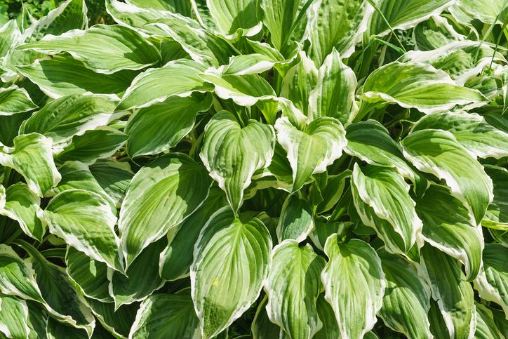 ギボウシはホスタとも呼ばれており、世界の温帯で育てられています。種類も豊富で、綺麗なグリーンの葉っぱが特徴的です。斑入りを選ぶとぱっと明るい雰囲気に。  ギボウシも日本に自生しており、初夏~夏に可憐な花を咲かせます。