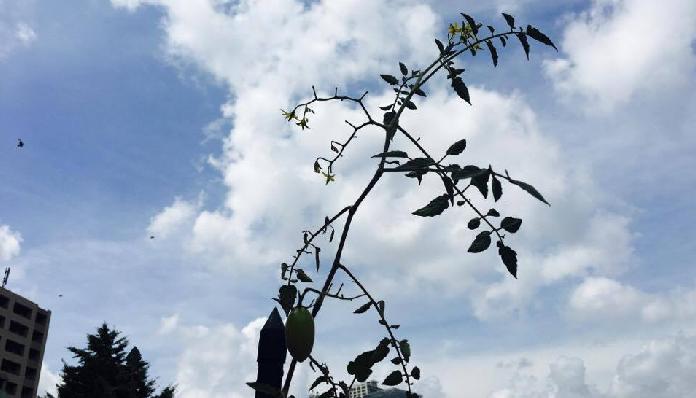 ベランダでのミニトマト栽培は、畑栽培と違い、土の量も高さの制限も出てきます。そのため、主枝が支柱の高さまで到達したら摘芯といって、主枝の先端を切ります。こうすることで、一定の時期に収穫を終了させ、次に栽培する野菜のための場所を空けることにもつながります。