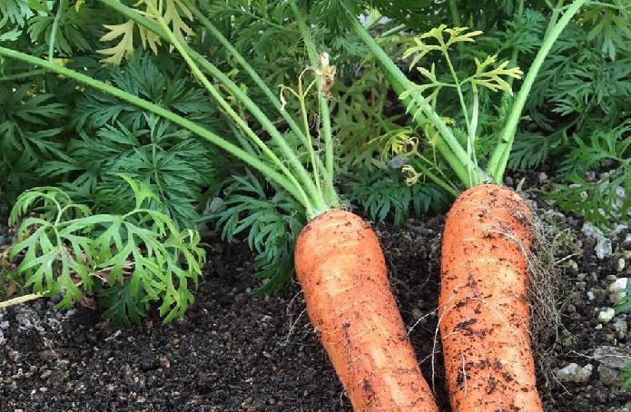 ニンジンは、一年を通して栽培することができる野菜です。一般的なニンジンの色はオレンジ色ですが、じつは赤、黄色、紫など様々な色合いの品種があります。この機会に、育てたことのない色のニンジンを育ててみてはいかがでしょうか。  また、ニンジンを自分で育てるメリットとして「ニンジンの葉」が収穫できるということです。通常ニンジンは、葉が切り取られ根の部分のみがお店で売られていますが、このニンジン以上に大きく生長した葉がとても美味しいのです。  ニンジンの葉の部分は、天ぷらにするとセリ科のもつ爽やかな風味、カリカリとした食感を味わうことができます。また、小さいうちは、そのままサラダとしてハーブのような感覚でとても美味しくいただけます。  おすすめ品種~金時ニンジン  祝い大根同様に、関西のお正月に使われる野菜の一つ「金時ニンジン」はいかがですか?  東洋系の品種で、京ニンジンとも呼ばれます。金時ニンジンは春に種をまくと、とう立ちしやすい性質があるため、夏まきのみの栽培になります。7~9月上旬までには、種まきを終わらせたい品種です。