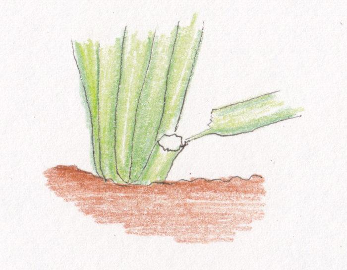 ネキリムシという名前がついていますが、根を食害するのではなく、実際は地際の茎の部分を食害します。  主な発生時期は、3~6月、8~11月です。  ヨトウムシ同様に、昼間は土の中に隠れていることが多いため、株元の土の下1cm位の深さを、箸などで探って捕獲します。  植えたばかりの苗が倒れたり、苗が土から浮いているように見えた次の日には、傾きながら萎れ始めます。  ネキリムシの終齢幼虫となると、体長45mmほどにもなり、地際の茎だけでなく、葉の食害も目立ち始めます。