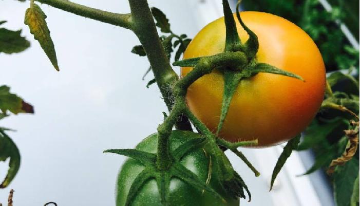 温度差  朝晩の寒暖の差や、夜露でもトマトの裂果の可能性は上がります。これは、温度差により、実が膨張して皮が裂けるという状態によるものです。