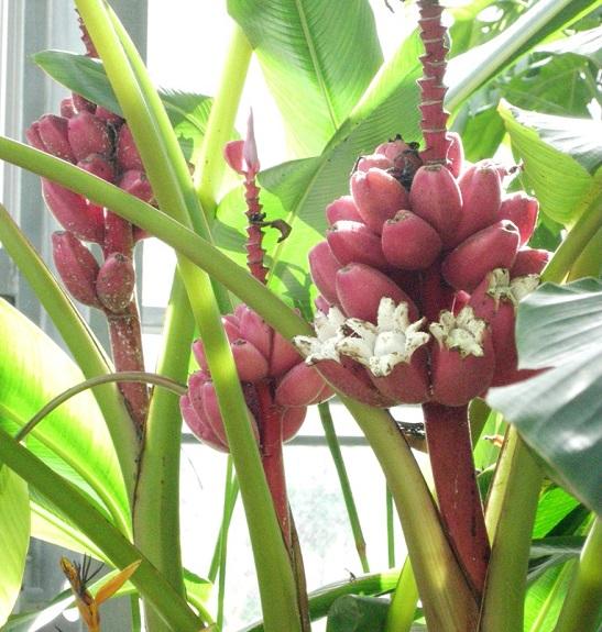 画像提供:渋谷区ふれあい植物センター    ▼色鮮やかなモモイロバナナ。