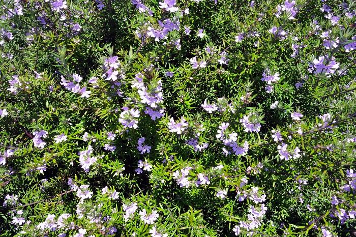 ローズマリーにそっくりででもローズマリーではない植物をご紹介します。時々プロのお花屋さんでもローズマリーだと勘違いしている人がいるくらいですから、覚えておいても損はないと思いますよ。  ウェストリンギア(オーストラリアンローズマリー)