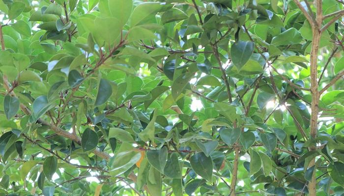 クロガネモチは緑のつやがある葉が生い茂る常緑樹で、冬に見られる赤い実も美しい植物です。寒冷地ではそだちにくいですが、塩害や排気ガスに強いため、沿岸部や道路に面している場所に向いている植物です。モチの木の仲間で葉の軸部分や、伸びたばかりの枝が紫色を帯びたきれいな色になることから、クロガネモチの名が付きました。枝はかなり丈夫で、太めの枝を剪定する場合は力が必要です。病害虫はルビー労カイガラムシが付きやすいです。発生するとびっしり幹についてしまうので、その場合は硬い枝やナイフなどで削り取りましょう。また、カイガラムシの排泄物ですす病になる場合があります。