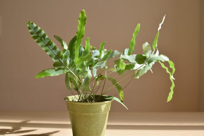 フレボディウム・ブルースターは人気のシダ植物になります。  シルバーがかった葉が美しく、人気があります。  また、とても大きくなり、しっかり育成すれば立派な株へと成長します。  白や黒の鉢と合わせると合いそうですね!  大きい鉢を置きたいときは、それに合わせてキャスター付きの花台などを鉢の下に置くと移動がしやすくなります。  キャスター付きの花台はホームセンターなどで売っているほか、インターネットでも購入可能です。