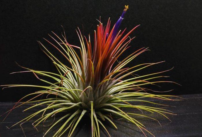 イオナンタは開花時が特に美しく、葉が紅葉し紫色の筒状花を咲かせます。画像は一般的にイオナンタの名前で流通しているイオナンタ・グアテマラです。  この他にも桃色に染まるイオナンタ・ピーチや山吹色に染まるイオナンタ・ドゥルイド、覆輪斑が入ったイオナンタ・アルボマルギナータなどちょっと変わったイオナンタもあります。