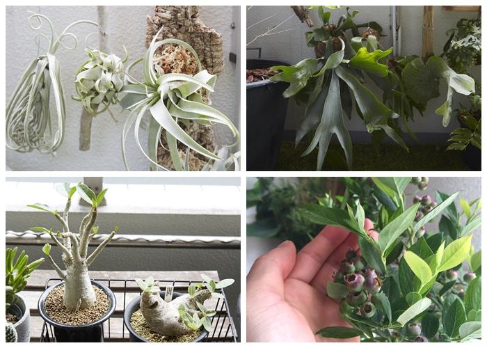 PICK UP PLANTS チランジア(左上) 一番左側のチランジア(エアプランツ)は、種類の中でも人気の種類のキセログラフィカ。冬など気温が低い時期は室内に取り込んで管理。暑い季節の水やりは夕方以降の涼しい時間に行います。