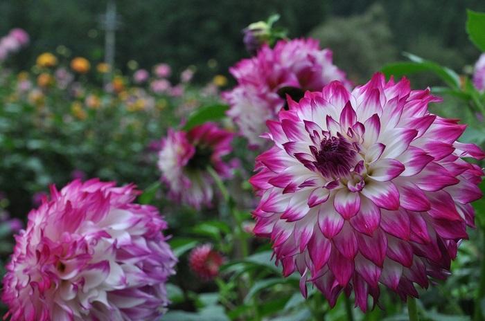 両神山麓(りょうかみさんろく) 花の郷 ダリア園