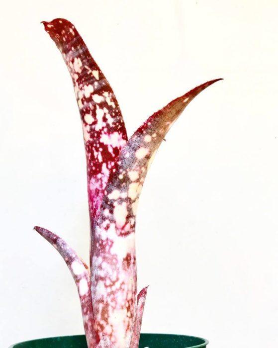 ストロベリーはビルベルギア・ファンタジアとビルベルギア・ミュリエルウォーターマンの交配種です。  赤い葉に白いスポットが入る姿は非常に美しく、人気の高い品種と言えるでしょう。