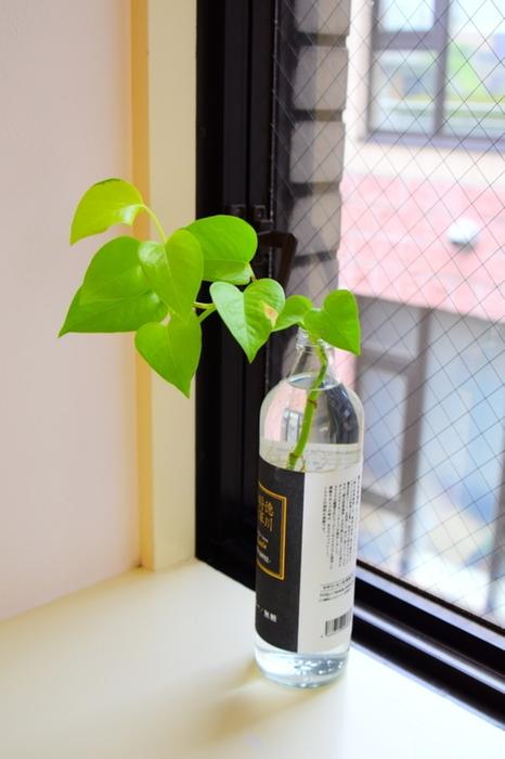 出窓などがある場合は、水挿しの容器のまま窓際に置いてみましょう。窓際の日当たりのいい場所に置くことでポトスは生き生きと育ってくれます。  窓際に置くときは直射日光が当たらないように注意してくださいね。直射日光に当たり続けていると植物も良くないですし、水も温まってしまいポトスにとって良くない環境になってしまいます。
