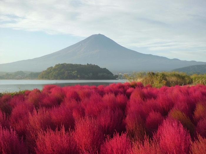 画像提供:河口湖自然生活館  河口湖自然生活館は河口湖北岸の大石公園内にある施設です。大石公園では6月中旬~7月中旬まで、ラベンダーと富士山の織り成す風景を楽しむことができます。コキアはおよそ1,500株。例年は10月10日過ぎくらいから赤くなり始め、20日~25日頃が全体的に赤くなります。