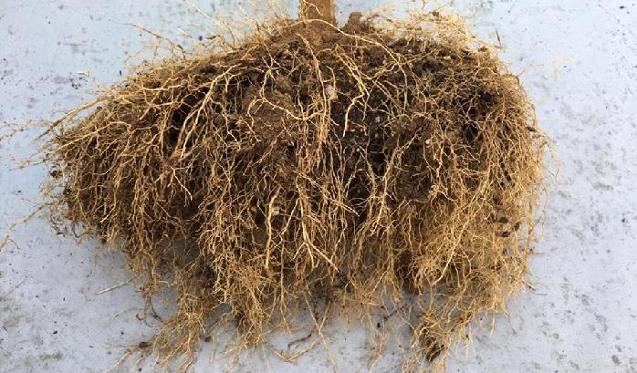 抜き取ったパプリカの苗の根をよく見てみると、上の画像のように太い根と細い根があります。どちらの根も表面に凸凹のない、きれいな根をしています。