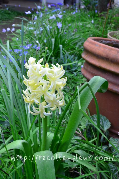 ヒヤシンスは土への植え付けの他、水栽培できる秋植え球根としても代表的な花です。水栽培にする場合は、水栽培用と売られている、球根のサイズが大きめなものを選びましょう。