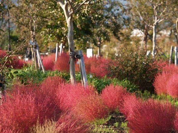 秋のバラの時期には、園内では紅葉が美しいコキアや、豊かな色彩が美しいサルビア園も併せて見ることができます。