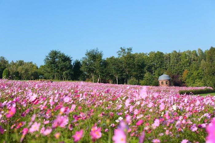 """画像提供:国営滝野すずらん丘陵公園    札幌市の国営滝野すずらん丘陵公園では、67品種・60万本のコスモスが""""花のまきば""""を彩ります。今年はさらに容姿が楽しい2,300株のコキアも一緒に楽しむことができるそう。"""