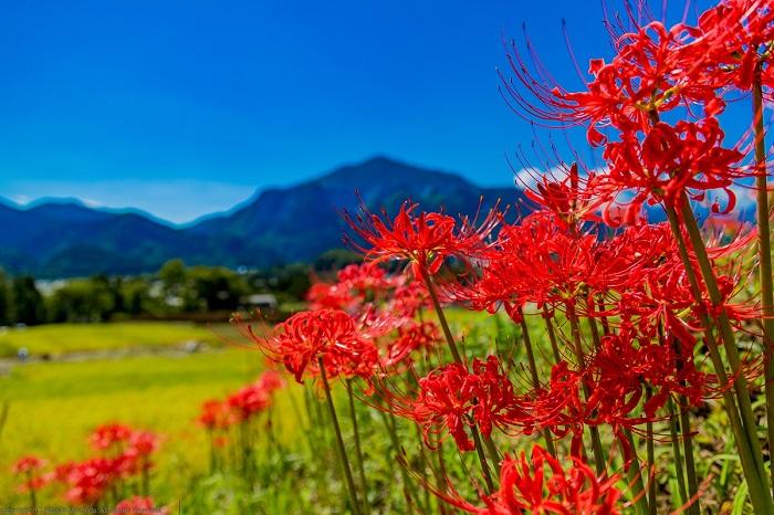 画像提供:横瀬町ブコーさん観光案内所  県内最大級の棚田で、武甲山と輝く稲穂、畦に咲く約150万球の赤い彼岸花など、里山の風景を楽しむことができます。