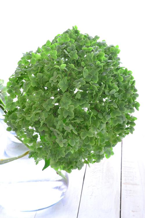 花市場で仕入れたアナベル。今回は、人の頭より大きなサイズでした。一輪で生けても豪華です。  アナベルの出回りは、夏から10月くらいまでです。リースに使うのは、褪せたグリーンの秋色になったものを使います。アナベルは秋色グリーンになると、きれいなドライフラワーになりやすい状態になります。