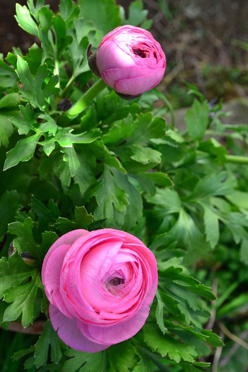 切り花としてもとても人気のラナンキュラス。園芸品種もたくさんあります。植え付け前に吸水処理をする必要があるので、球根の説明書きを読んでから植え付けましょう。