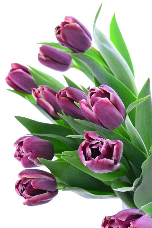 もっとも品種が豊富な秋植え球根のチューリップ。品種によって球根の大きさが違います。チューリップは、品種によって開花時期が異なります。  早咲き(3月~)、普通咲き(4月)、遅咲き(4月後半~5月)とあり、球根の説明書きに書いてあることが多いです。他の植物との寄せ植えに使う時は、開花時期の合う品種を選ぶと花が咲きそろいます。