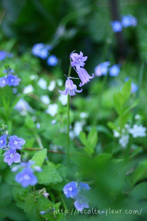 別名、ブルーベルと呼ばれるシラー・カンパニュラータ(ヒヤシンソイデス)。4月~5月ごろに開花する球根花です。  色は青紫、白、ピンクの3色があります。花の形はつり鐘状(ベル型)で、目立つ花ではないですが、ひっそりと咲く花姿が、ガーデナーには密かな人気のある球根花です。植えっぱなしで大丈夫な球根花です。  シラーは、カンパニュラータ以外にも、たくさんの品種があります。
