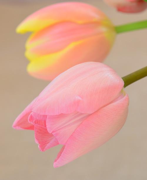 始めてチューリップの球根を鉢植えに植えてみる方は、まずは1つの品種を1つの鉢に植えつけることをおすすめします。理由は、最初にご紹介したチューリップの開花時期が品種によって様々で、同じ鉢に植えても開花が咲きそろわないことがあるからです。せっかく色々植えたのに、開花時期がまったく違った・・・というのは残念ですよね。球根植えに慣れてきて、だいたい咲き揃う品種が感覚的にわかってきたら、異品種植えにもチャレンジしてみてください。