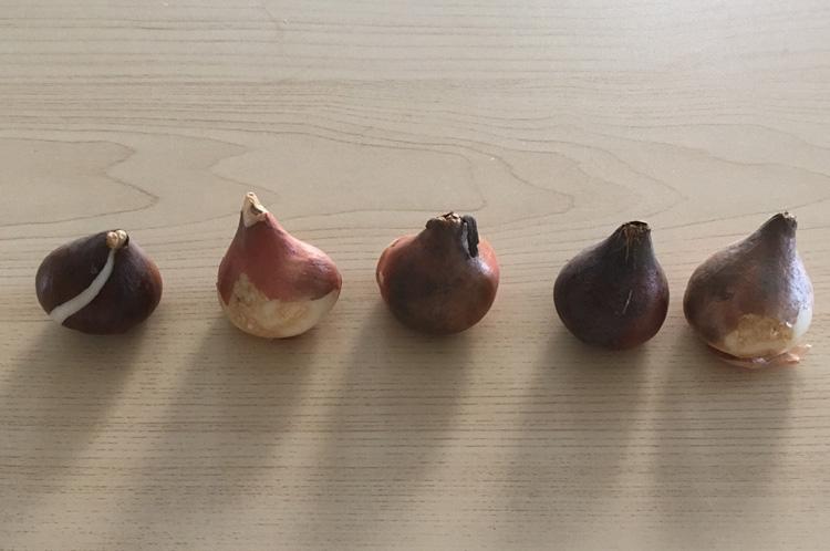 チューリップの球根、チューリップの球根は、栗のような形で、玉ねぎのような見た目です。