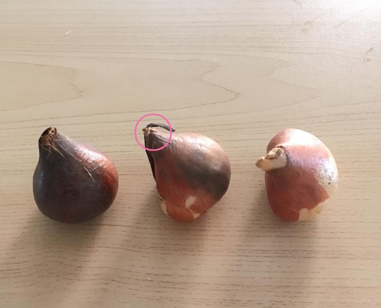 チューリップの上下は、先のとがった方が上です。植え付けると、ピンクの丸をつけた所から、花茎が出てきます。植え付ける時は、とがった部分を上にして土にセットします。下のお尻の部分から根が出てきます。