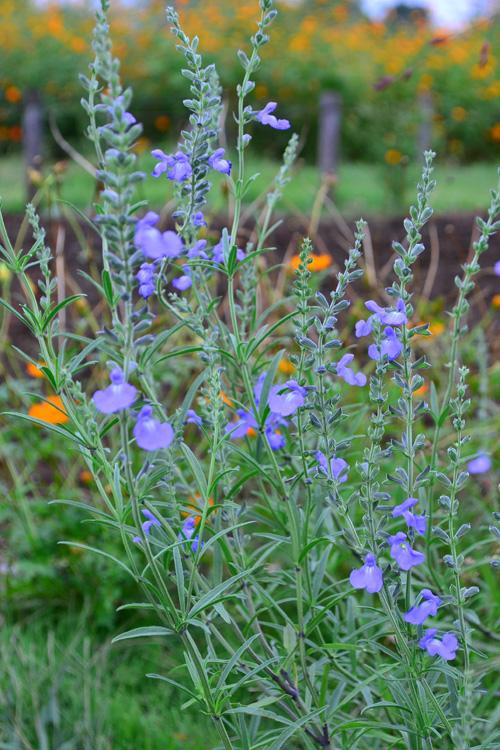 きれいな空色のサルビア・アズレア  ふと立ち寄った公園で咲いていたサルビア・アズレア。広い空間に植えると、とても目を引く草花です。きちっとおすましした雰囲気ではなく、自然に自由奔放に茎が伸びるので、ナチュラルガーデンに向いています。  背丈がある水色の花って意外と少ないので、水色好きな方はぜひお庭にいかがでしょうか。