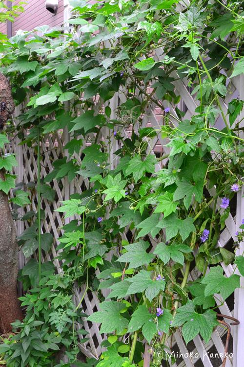 オキナワスズメウリを最初に植えたのは10年以上前になります。最初の数年は、種まきからと苗でも購入して花壇に植えたところ、数年すると毎年夏にこぼれ種で発芽するようになりました。オキナワスズメウリは、ウリ科の1年草のツル植物です。名前に「オキナワ」とついているように、暑さにはとても強く、太陽が大好きな植物です。