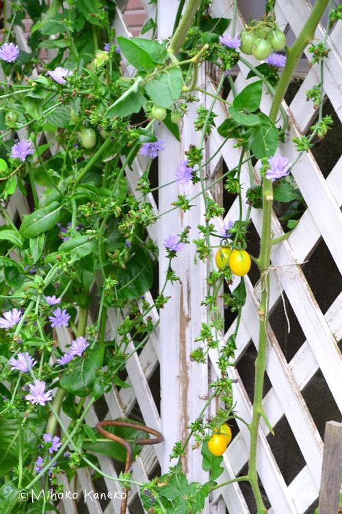 8月のミニトマトとリーフチコリのグリーンカーテン